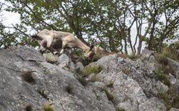 Ibex pair Royalty Free Stock Image