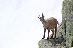 Ibex perched on cliffs Royalty Free Stock Images