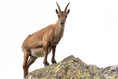 Free Ibex Perched On Rock Isolated On White Background Royalty Free Stock Image - 66658856