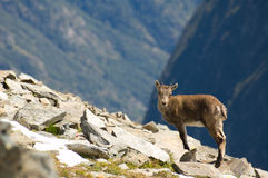 Ibex pet. A little Ibex pet on rocks, cute with soft fur Stock Image