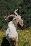 Ibex portrait Royalty Free Stock Photo
