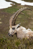 Ibex Portrait. An ibex in the French Alps Royalty Free Stock Image