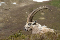 Ibex Profile. An ibex in the French Alps Stock Photo