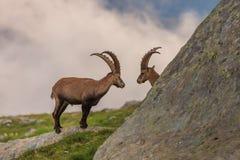 Ibex , Range of Mont-Blanc , French Alps Stock Images