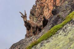 Ibex, Range of Mont Blanc, France Royalty Free Stock Image
