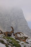 Ibex rest Royalty Free Stock Photos