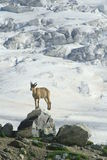 Ibex on the rock. Ibex near the austrian bivuoac ist the typical mammal fot the area, caucasus, russia Stock Image