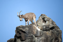 Ibex on a rock Stock Photo