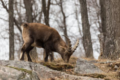 An ibex on a rock click. A lone ibex on a rock click stock images