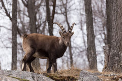An ibex on a rock click. A lone ibex on a rock click royalty free stock photography