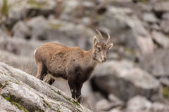 Ibex on a rock face Royalty Free Stock Image