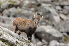 Ibex on a rock face Royalty Free Stock Photography
