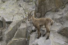 Ibex on a rock. French Alps. Stock Photography