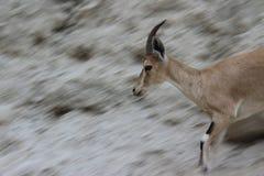 Ibex running fast on a cliff in Ein Gedi, Israel. Ibex running on a cliff, blurry background behind in Ein Gedi, Israel Royalty Free Stock Photography