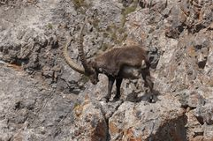 Ibex scratching. An Ibex scratching its head on a rock stock images
