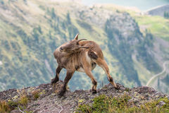 Ibex scratching his back with horns Stock Photo