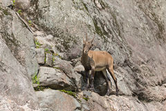 An ibex on a side of a cliff Royalty Free Stock Image