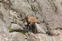 An ibex on a side of a cliff Stock Photos