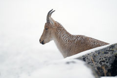 Ibex in the Sierra de Gredos in Avila Royalty Free Stock Photos