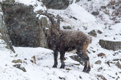 An ibex in a snow storm Royalty Free Stock Image