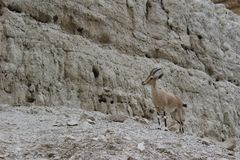 Ibex standing on a cliff in Ein gedi, Israel. Ibex standing alone on a cliff in Ein gedi, Israel Royalty Free Stock Photo