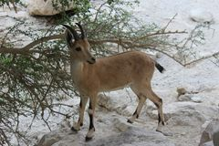 Ibex standing on a cliff in Ein gedi, Israel stock photography