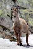 Ibex standing in snow Stock Photography