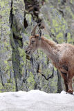 Ibex standing in snow Royalty Free Stock Images