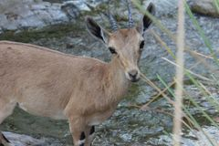 Ibex standing by the water stream. Ibex standing on the edge of the stream, behind the bush in Ein gedi, Israel Stock Photo