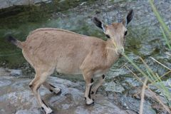 Ibex standing by the water stream. Ibex standing on the edge of the stream, looking afraid in Ein gedi, Israel Stock Image