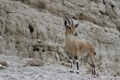 Ibex standingon a cliff in Ein gedi, Israel. Ibex standing alone on a cliff in Ein gedi, Israel Stock Image