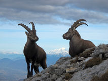 Ibex at summit Stock Photos