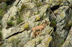 Ibex swarm up mountains Stock Photos