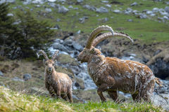 Ibex in the Swiss Alps Stock Photography