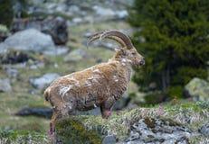 Ibex in the Swiss Alps Stock Photos