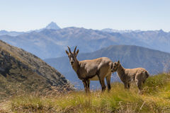 Ibex to the natural park Stock Images