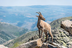 Ibex on top of the rocks Royalty Free Stock Image