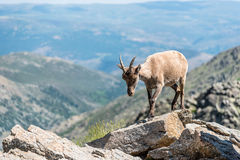 Ibex on top of the rocks Royalty Free Stock Photo