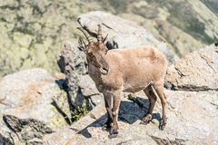 Ibex on top of the rocks Royalty Free Stock Images