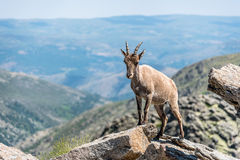 Ibex on top of the rocks Stock Image