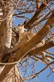Ibex in Tree Stock Photos