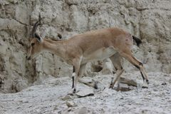 Ibex walking on a cliff in Ein gedi, Israel. Ibex walking alone on a cliff in Ein gedi, Israel Royalty Free Stock Photo