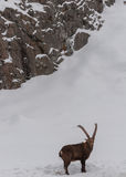 Ibex walking in the snow. Stock Photos