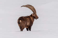 Ibex walking in the snow. Royalty Free Stock Photo