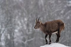 Ibex in the winter. Ibex wild goat in the winter, capra hircus ibex Royalty Free Stock Photography