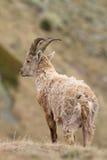 Ibex Royalty Free Stock Image