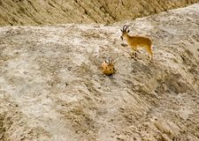Ibex in Zin river Royalty Free Stock Photos