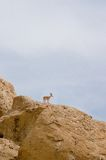 Ibex in Zin river Royalty Free Stock Image