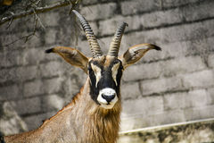 Ibex in Zoo Royalty Free Stock Images