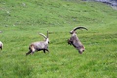 ibexes бой Стоковое Фото